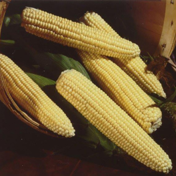 Northern Extra Sweet Hybrid Sweet Corn