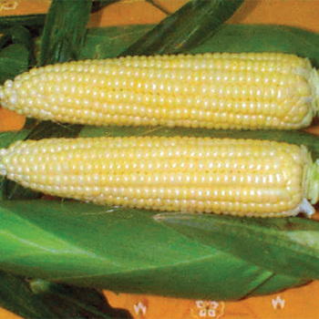 Spring Treat Hybrid Sweet Corn