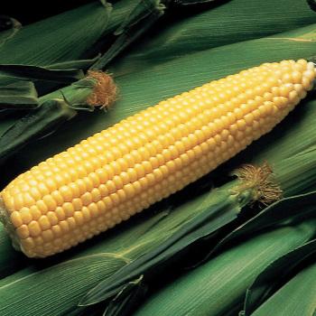 Super Sweet Jubilee Hybrid Sweet Corn