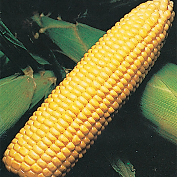 Sweetie 82 Hybrid Sweet Corn