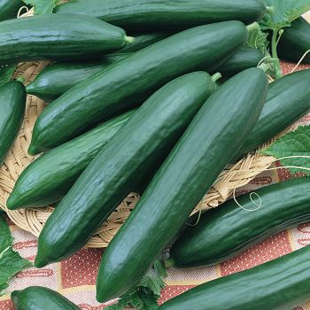 Eversweet Hybrid Cucumber