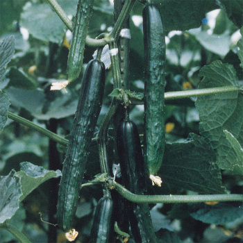 Tasty King Hybrid Cucumber - 100 seeds
