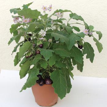 Ophelia Hybrid Eggplant