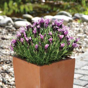 Bandera Purple Lavender Pixie Stakes