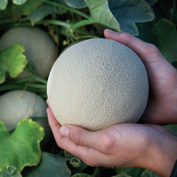 Bit O' Gold Hybrid Melon