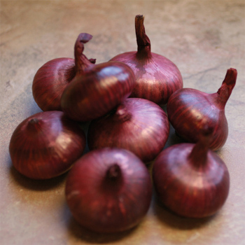 Red Marble Hybrid Cippolinis Onion