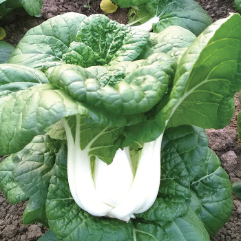Asian Delight Hybrid Pak Choi