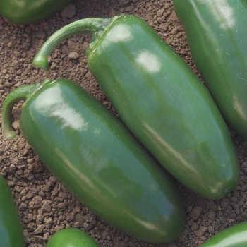 Chichimeca Hybrid Pepper