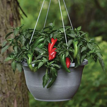 Pot-A-Peno Hybrid Pepper