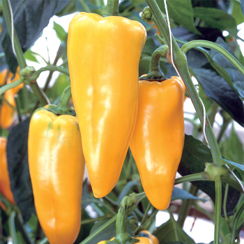 Yellow Crest Hybrid Pepper