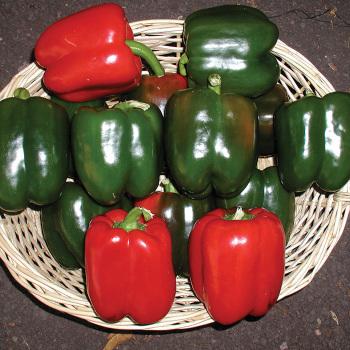 Excursion Ii Hybrid Pepper