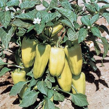 Gypsy Hybrid Pepper