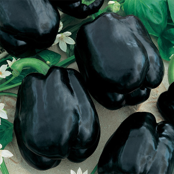 Merlot Hybrid Pepper