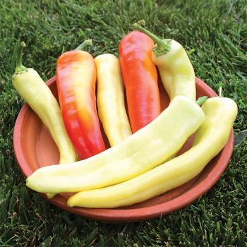 Sweet Sunset Hybrid Pepper