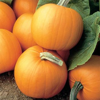Orange Smoothie Hybrid Pumpkin