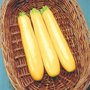 Gold Rush Hybrid Zucchini