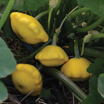 Lemon Sun Hybrid Summer Squash