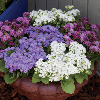 Cloud Nine Mix Hybrid Ageratum