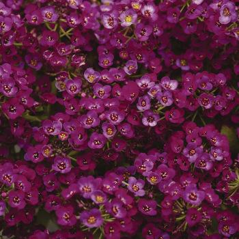 Purple Shades Alyssum