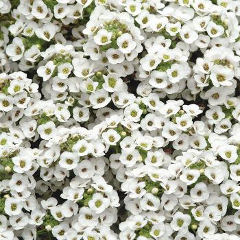 White Shades Alyssum