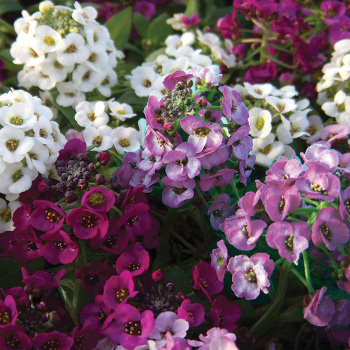 Clear Crystal Mix Alyssum
