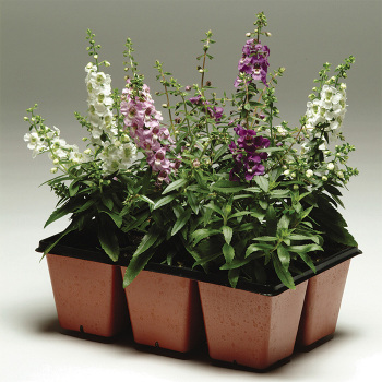 Serena Mix Angelonia