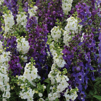 Serena Waterfall Mix Hybrid Angelonia