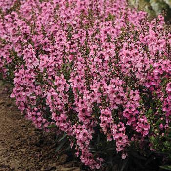 Serenita Pink Hybrid Angelonia