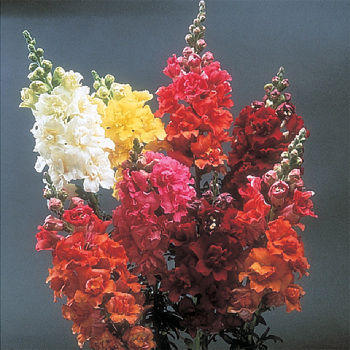 Madame Butterfly Snapdragon