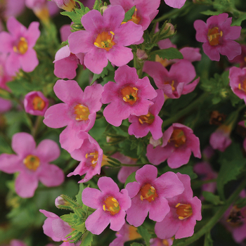 Pinktopia Hybrid Cacopa