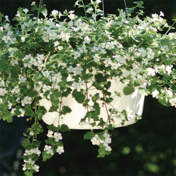 Snowtopia White Bacopa