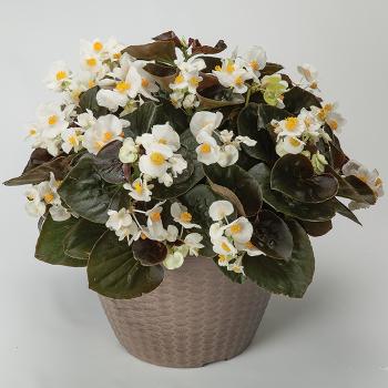 Bowler Bronze Lef White Hybrid Begonia