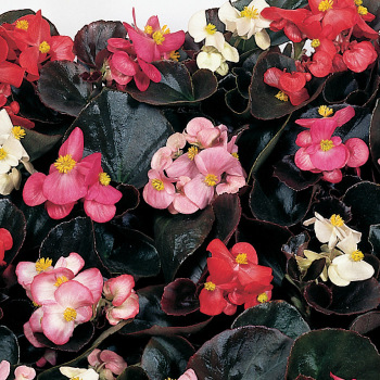Cocktail Mix Hybrid Begonia