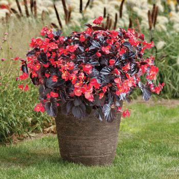 Viking Xl Red On Chocolate Hybrid Begonia