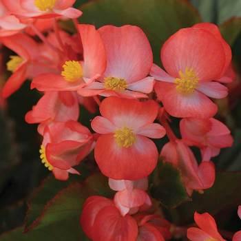 Babywing Bicolor Hybrid Begonia