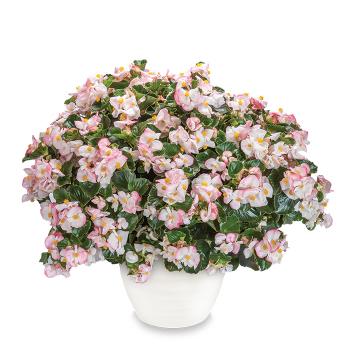 Tophat Rose Bicolor Hybrid