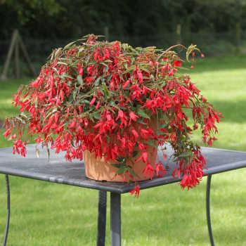 Bossa Nova Red Begonia