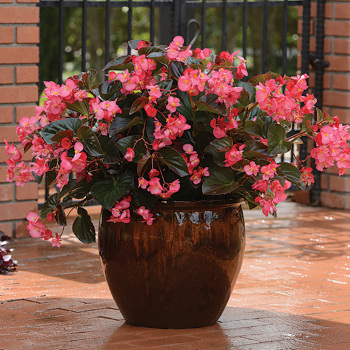 Rose Bronze Leaf Begonia