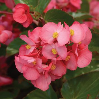 Rose Green Leaf Begonia