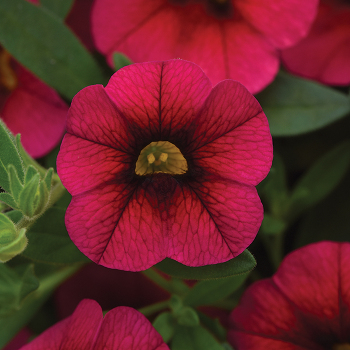 Kabloom Cherry Hybrid Calibrachoa
