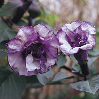 Double Blackcurrant Swirl Datura