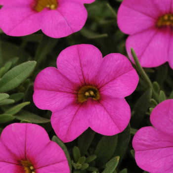 Kabloom Deep Pink Calibrachoa