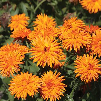 Orange Calexis Calendula