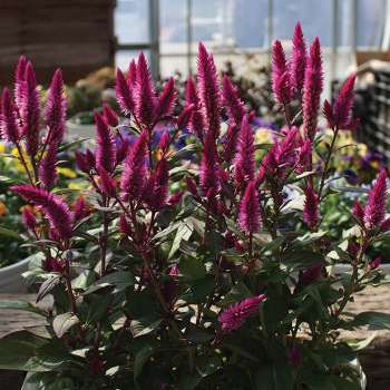 Asian Garden Celosia Pixie Stakes