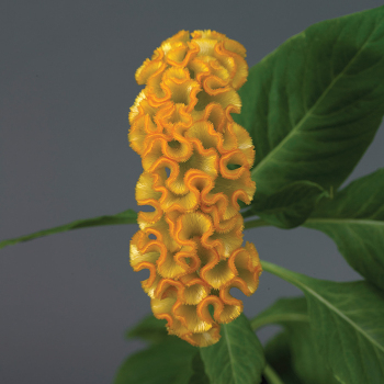 Neo Gold Crested Celosia