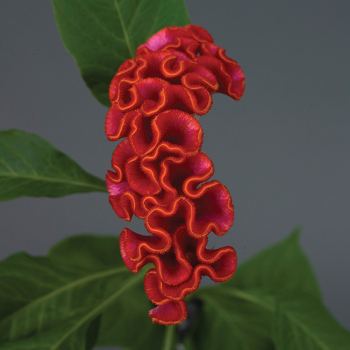 Neo Orange Crested Celosia