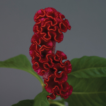 Neo Red Crested Celosia