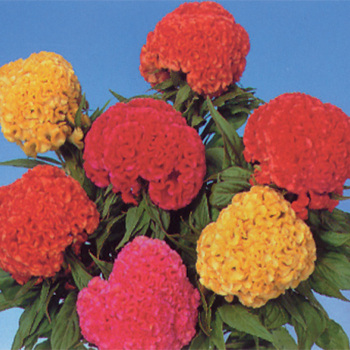 Crested Chief Mixed Celosia