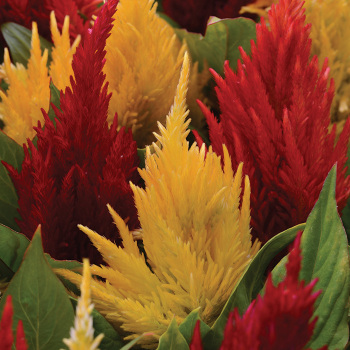 First Flame Mix Plumed Celosia