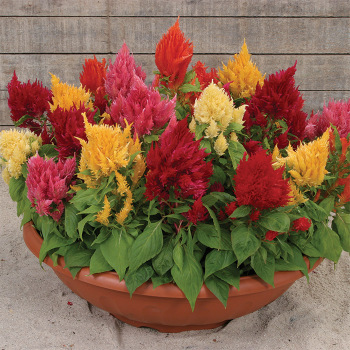Ice Cream Mix Improved Celosia